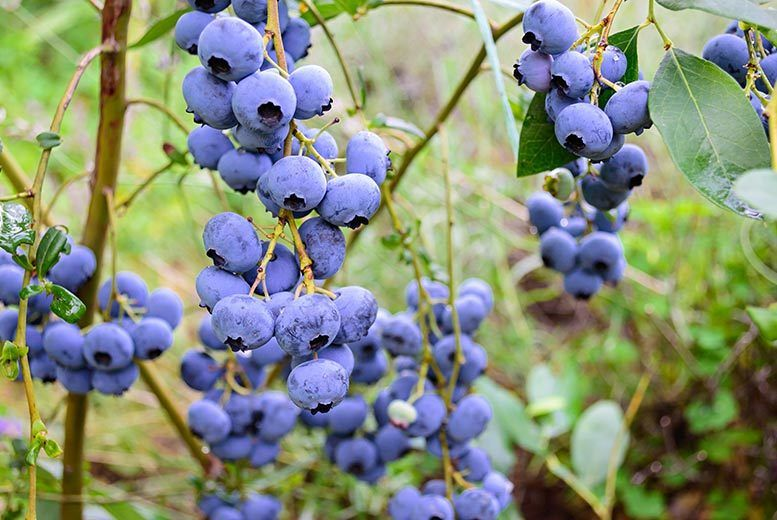 From £14.99 for a three-piece top hat patio blueberry plant collection, or £27.99 for a six-piece collection from PlantStore - save up to 63%