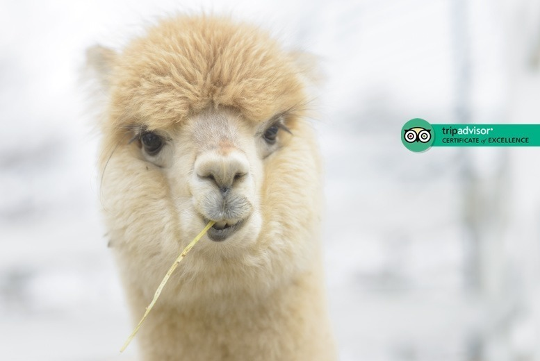 Image of £16 instead of £35 for a 90-minute 'walking with alpacas' experience for one, £30 for two people at Charnwood Forest Alpacas, Ashby-de-la-Zouch - save up to 54%