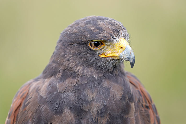 Image of £24.50 for a three-hour falconry experience for one at Adventure 001 - choose from six locations!