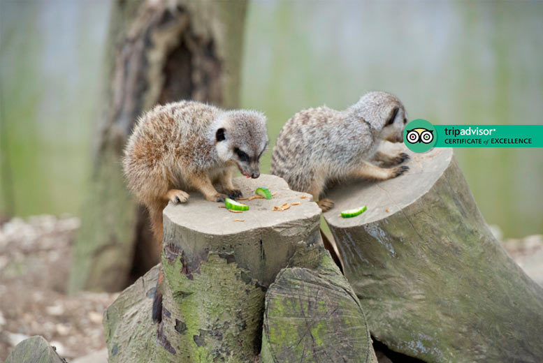 Image of £25 for a 'meet the meerkat' experience and park entry for two people at Bridlington Birds of Prey and Animal Park