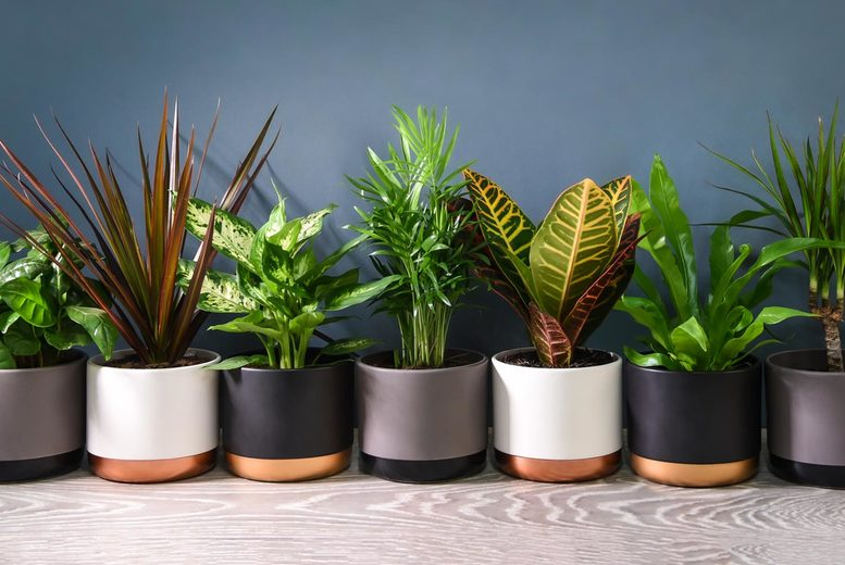 Image of £10.99 instead of £17.99 for three Scandi houseplants or £18.99 instead of £29.99 for six houseplants from Thompson & Morgan - save up to 39%