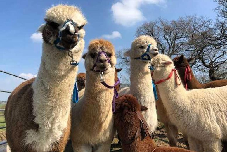 Image of £29 instead of £56 for a 90-minute walking an alpaca experience for two people at Middle England Farm, Birmingham - save 48%
