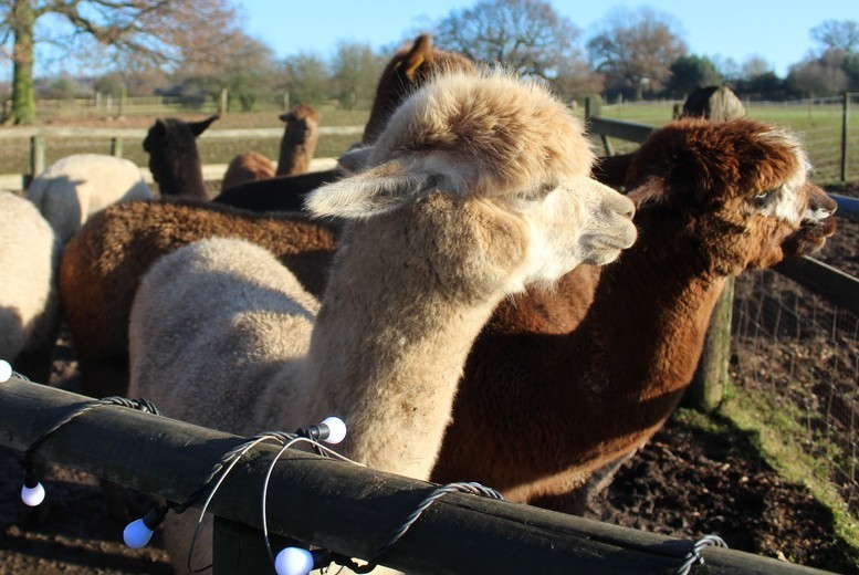 Image of £14 for an alpaca experience for one person at Lucky Tails Alpaca Farm, Warwickshire. £24 for two, or £34 for a family of four