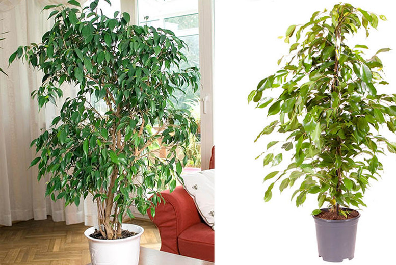 Image of From £19.99 for a Weeping Fig Ficus Benjamina Plant from Blooming Direct - save up to 33%