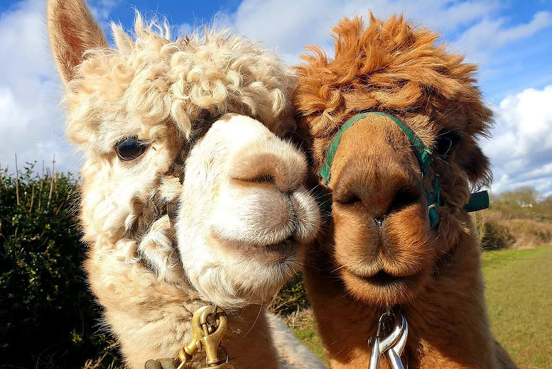 Image of £9 instead of £20 to adopt an alpaca, £29 to include a meet and greet experience at Charnwood Forest Alpacas, Loughborough - save up to 55%