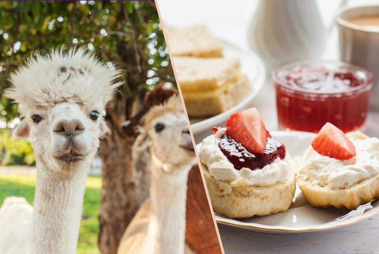 Image of £34 instead of £98 for a sparking afternoon tea for two people at Abel's Harp, Shropshire including a meet the Alpacas feeding experience - save 65%