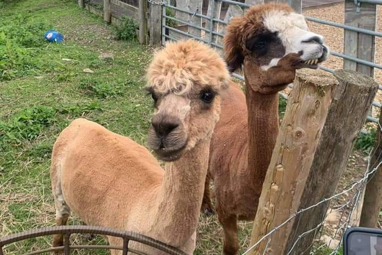 Image of £29 instead of £78 for a sparking cream tea for two people at Abel's Harp, Shropshire including a one-hour meet the Alpacas feeding experience - save 63%