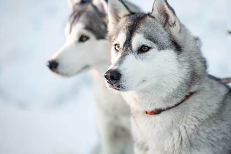 Image of £19 instead of £40 for a one-year husky adoption pack from Horse and Husky including a personalised certificate, a welcome letter, a keyring and fridge magnet - save up to 53%