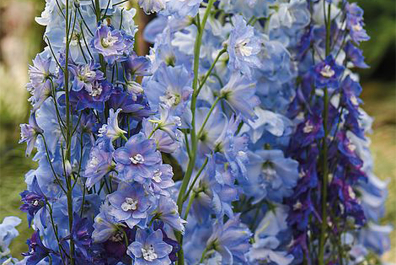 Image of From £3.99 instead of £9.49 for a bouquet of Delphinium mixed plants, choose from three options from Thompson and Morgan – save up to 58%