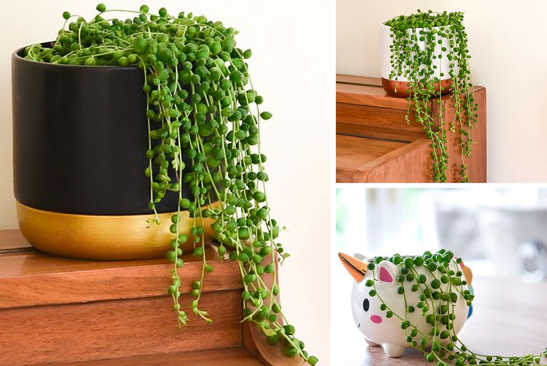 Image of From £4.99 instead of £9.99 for one Senecio string of pearls house plant, choose from three options from Thompson and Morgan – save up to 50%