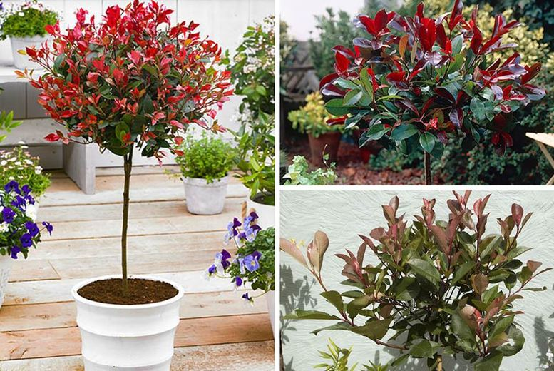 Image of From £19.99 for a Colourful Photinia Tree You Garden Ltd t/a Blooming Direct - save up to 33%