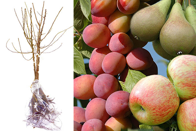Image of From £24.99 for a mini Orchard fruit tree collection Blooming Direct - save up to 44%
