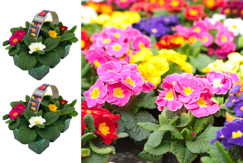 Image of £6.99 instead of £12.99 for six primrose 'mixed colour' plants, £12.99 for 12 primrose plants from Hedgerow Nurseries!