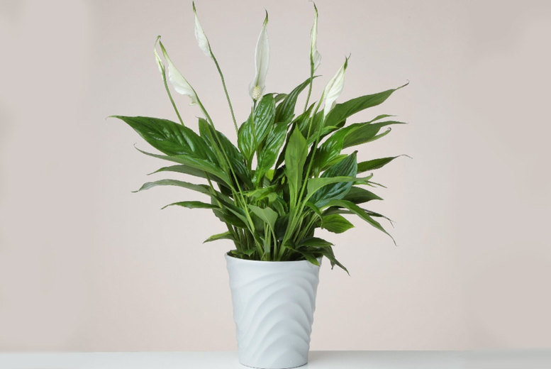 Image of £16.99 instead of £34.99 for a Peace Lily plant in a ceramic pot from Flowersdelivery4u - save 51%