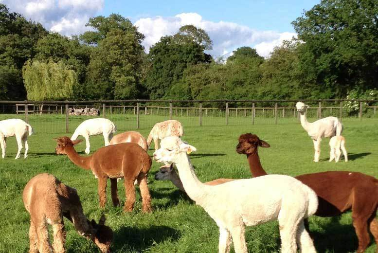 Image of From £25 instead of £50 for a two-hour Alpaca experience for two people at Pennybridge Farm, Hampshire - meet the animals and save up to 50%