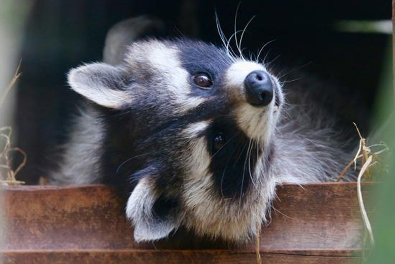 Image of £39 instead of £150 for a one-hour racoon experience for two at Hoo & Zoo Dinosaur World, Telford - save 74%