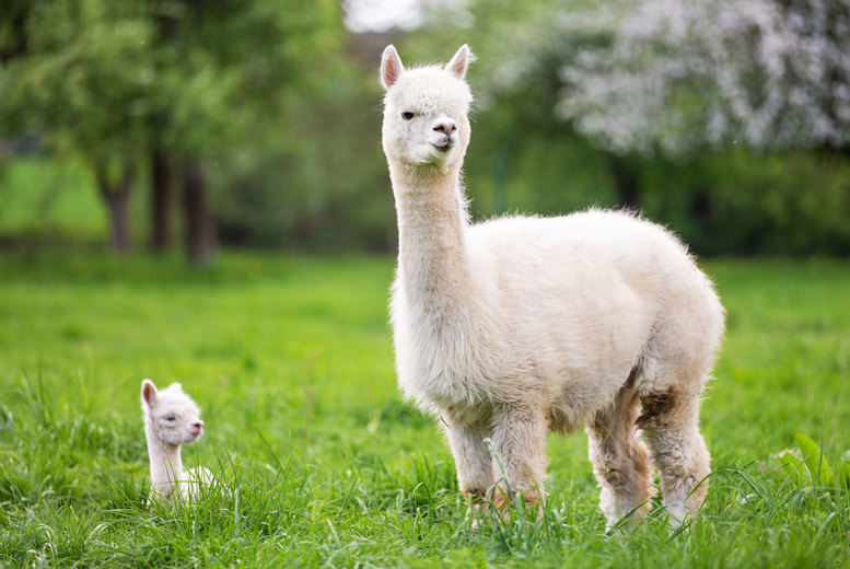 Image of £12 instead of £25 for a one-hour baby alpaca experience with feed for one person at Charnwood Forest Alpacas, or £22 for two people at Charnwood Forest Alpacas - save up to 52%