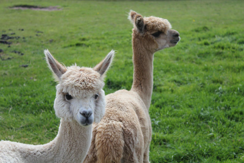 DDDeals - £14 for a 60-minute alpaca experience with farm entry for one at White Peak Alpaca Farm, Knutsford