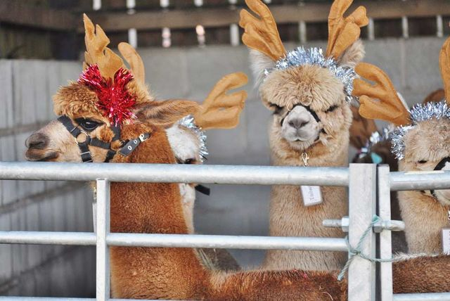 Charnwood Forest Alpacas 1 Hour Christmas Alpaca Walk Voucher £14