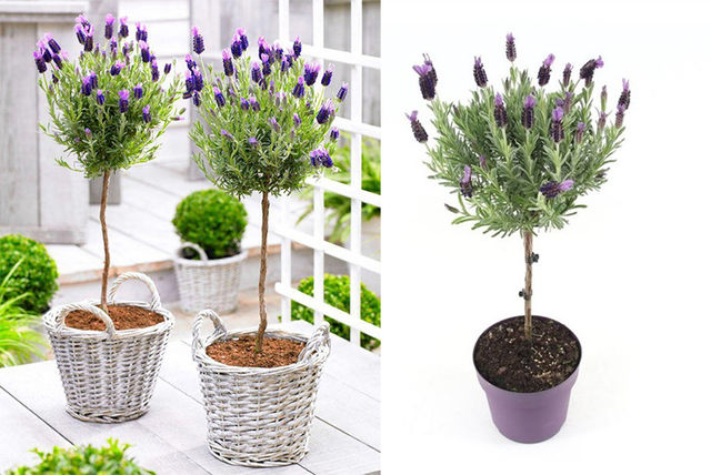 £19 Instead Of £39.99 For A Pair Of French Lavender Patio Trees From  PlantStore   Save 52%