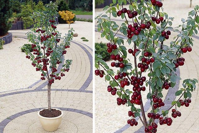 £19 instead of £38.99 (from Plant Store) for a mini patio cherry tree or £29 for two - save up to 51% & 1 or 2 Mini Patio Cherry Trees | Shopping | LivingSocial