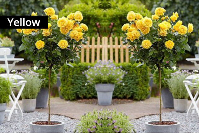 Ordinaire Pair Of Flowering Patio Rose Trees   5 Colours!   Shopping   LivingSocial