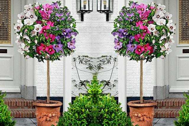 1 Or 2 Xl Tricolour Hibiscus Trees Shopping Livingsocial
